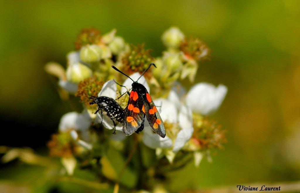 Insectes butineurs