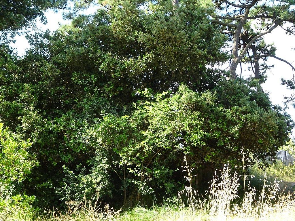 Filaire à feuilles larges et chênes verts