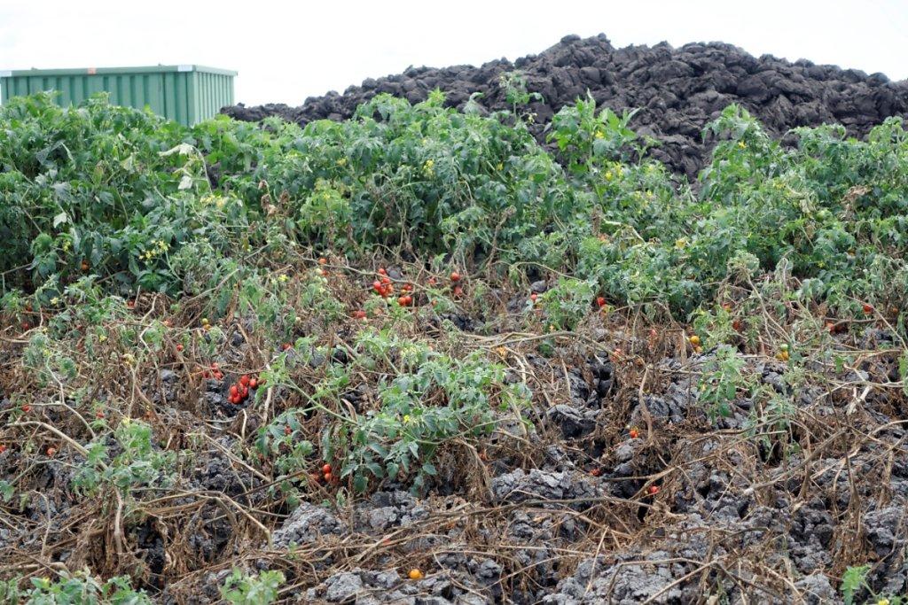 Les boues en sortie du digesteur constituent un compost fertile