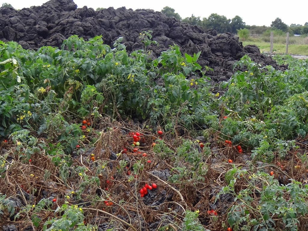 les boues résultant du prétraitement contiennent encore des graines qui germent  le compost