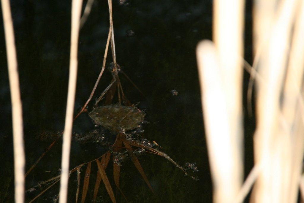 oeufs de grenouilles