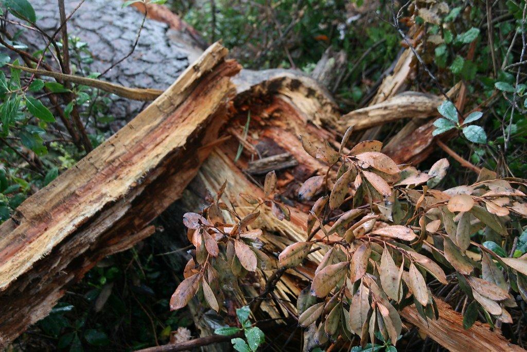 arbre disloqué (tempête)