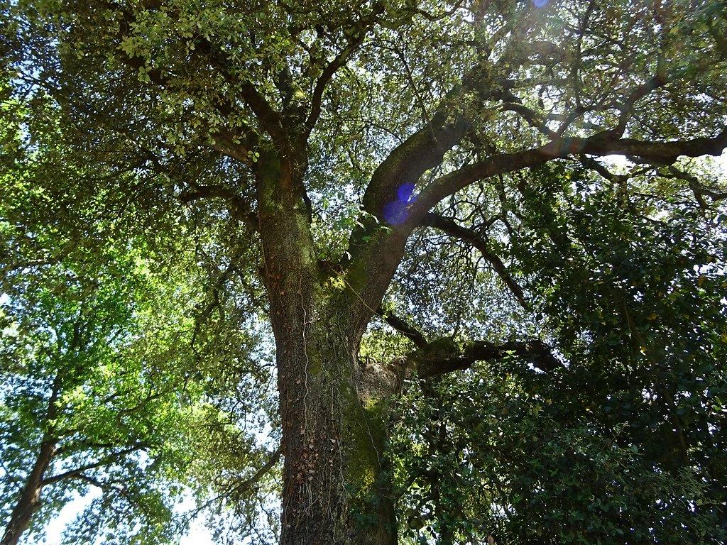 chêne ancien