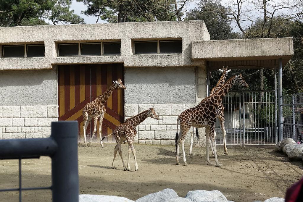 Le groupe de girafes