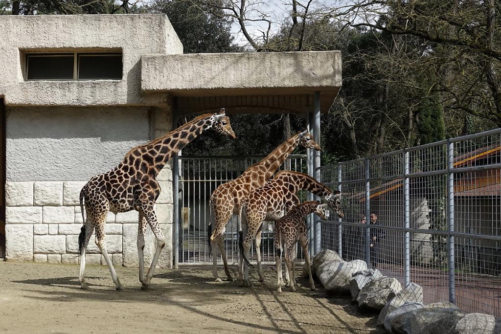 Les girafes au complet