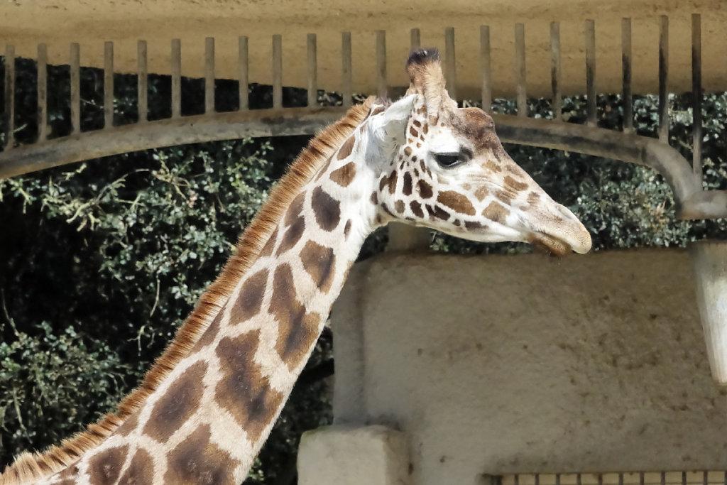 Le regard langoureux des girafes