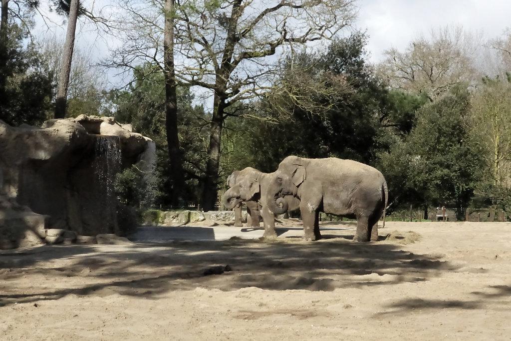Les femelles éléphants