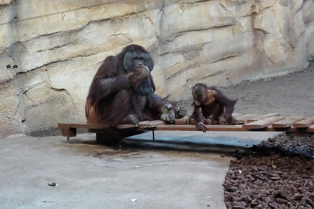 Orangs-outans père et fils
