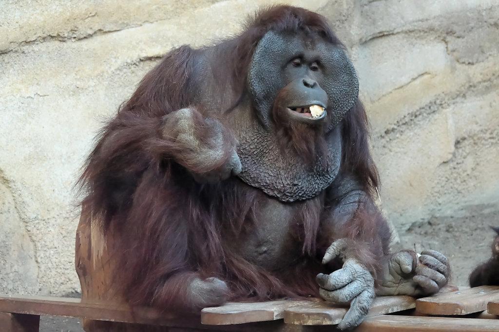 Le mâle orang-outan