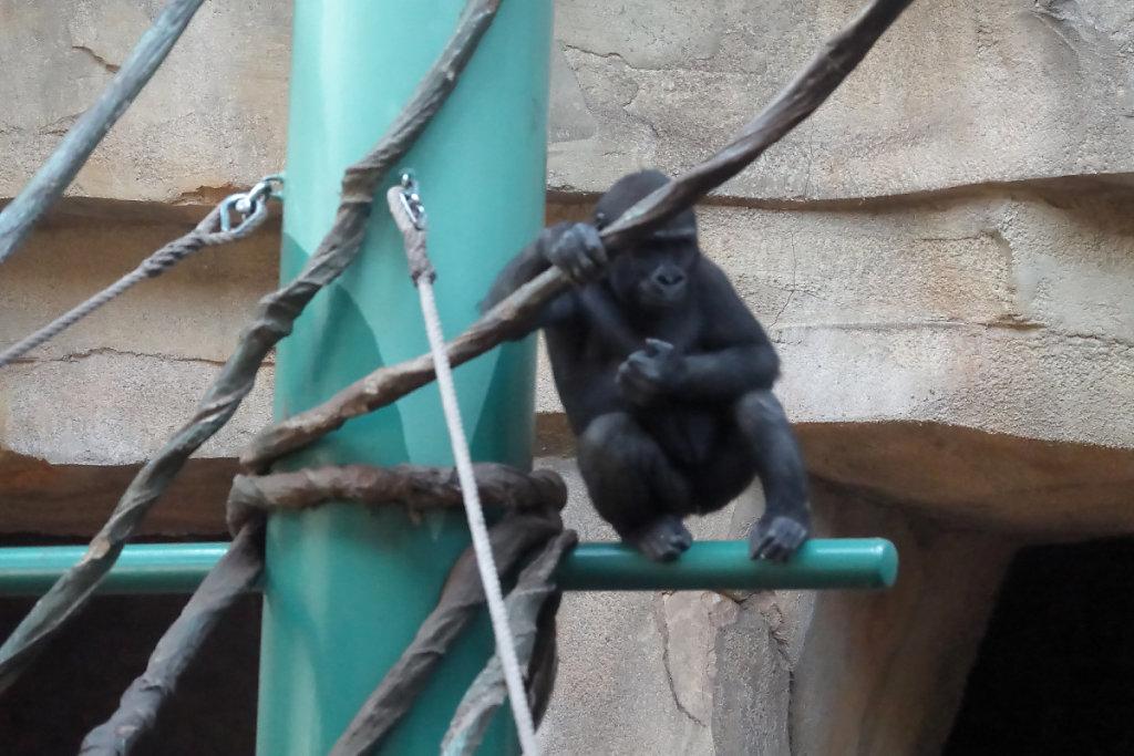 Femelle gorille des plaines