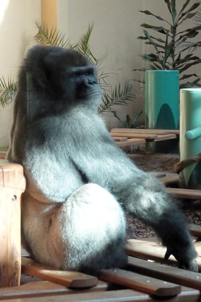 Monsieur Gorille