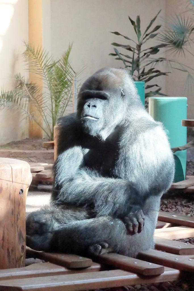 Mâle gorille