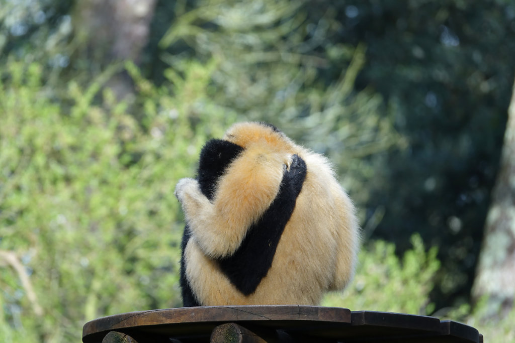 Gibbons enlacés