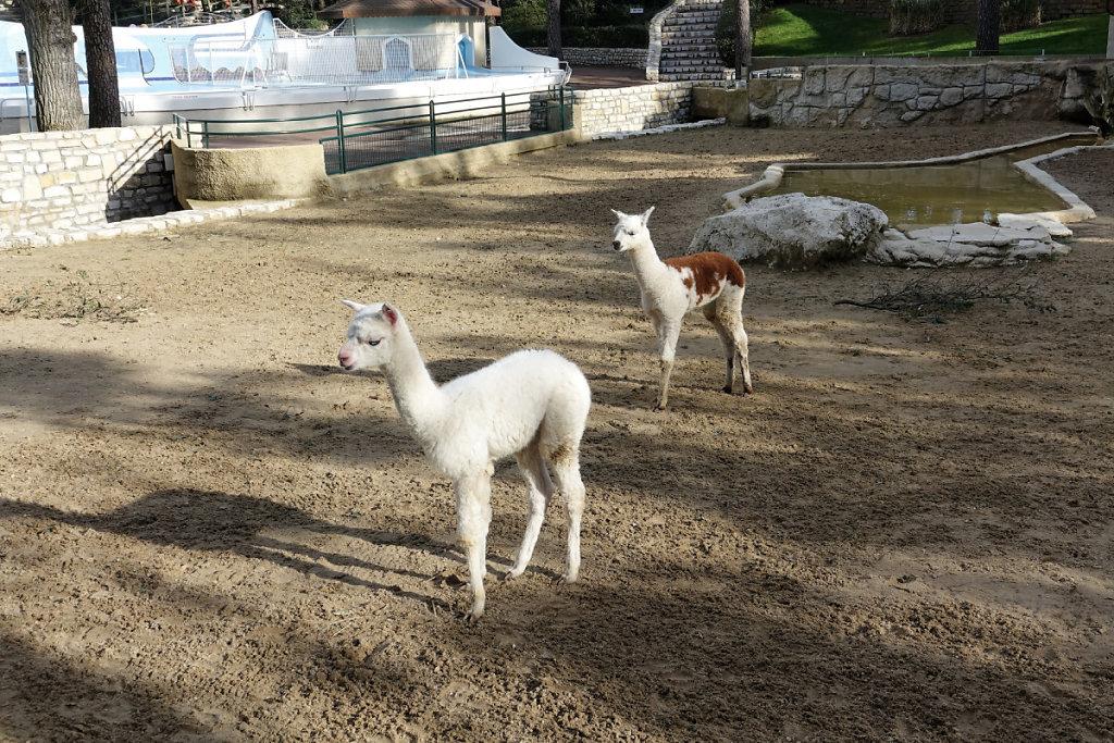 Bébés Alpaga