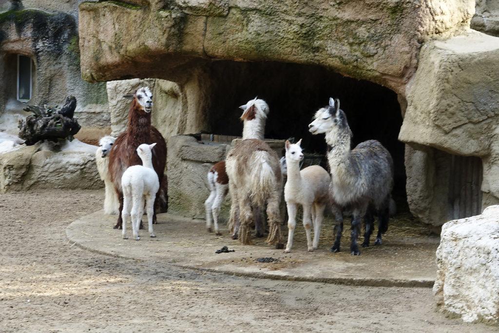 Le groupe des alpagas