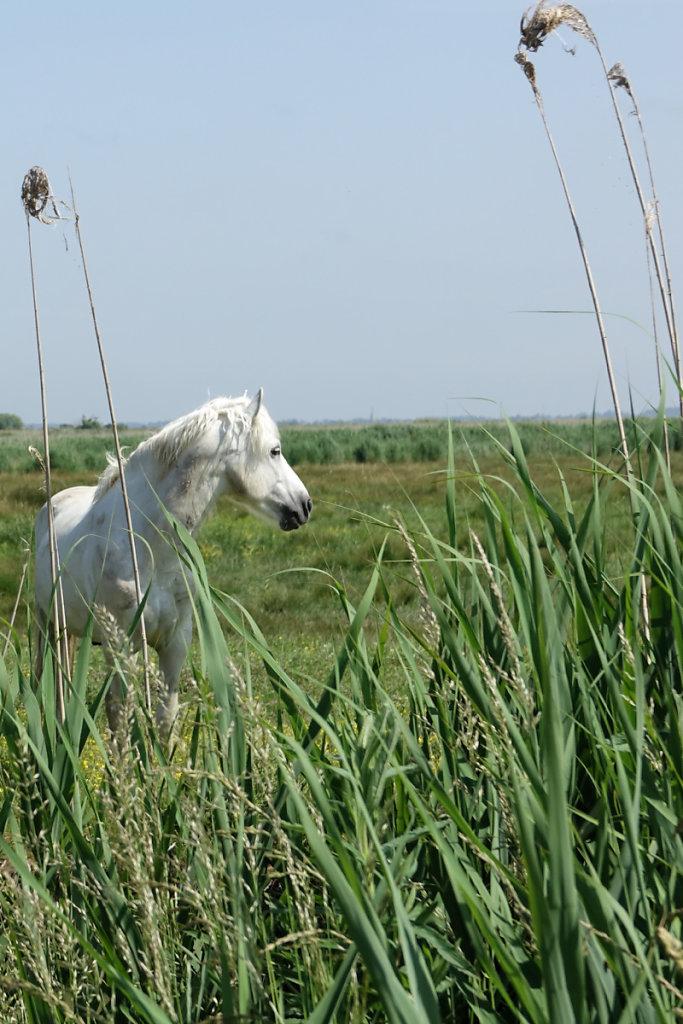 un cheval camarguais