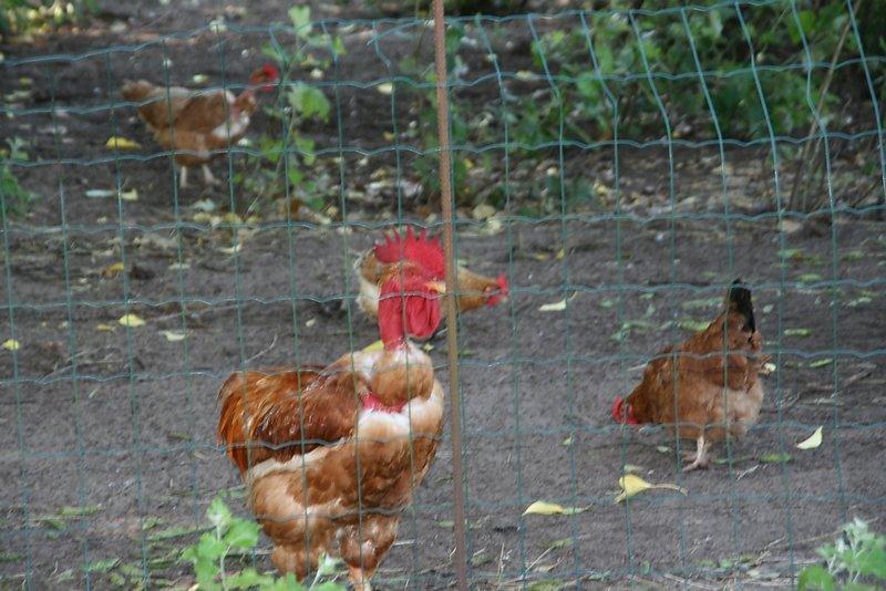 les poules et canards élevés en plein air