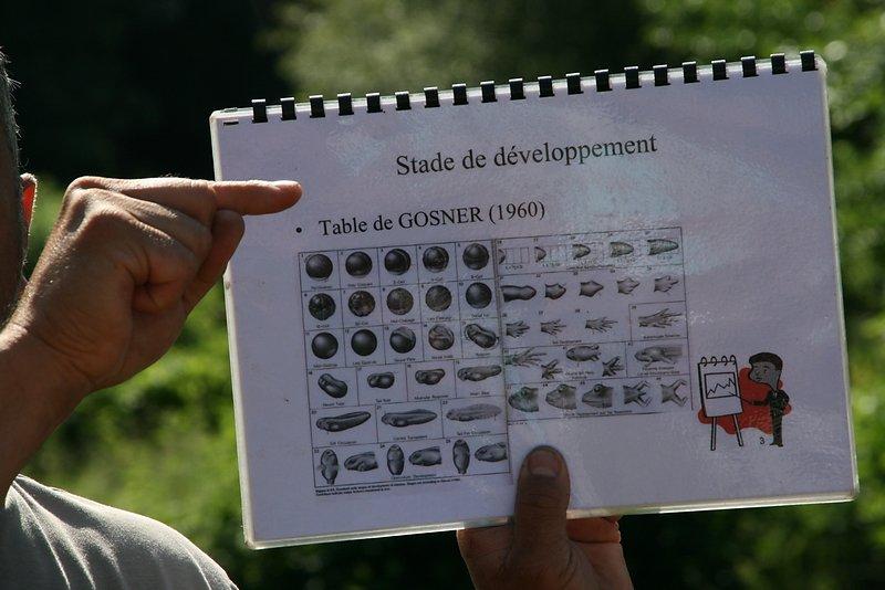 Table de développement des larves d'anoures