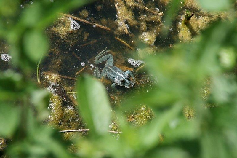 belle grenouille gris-bleu