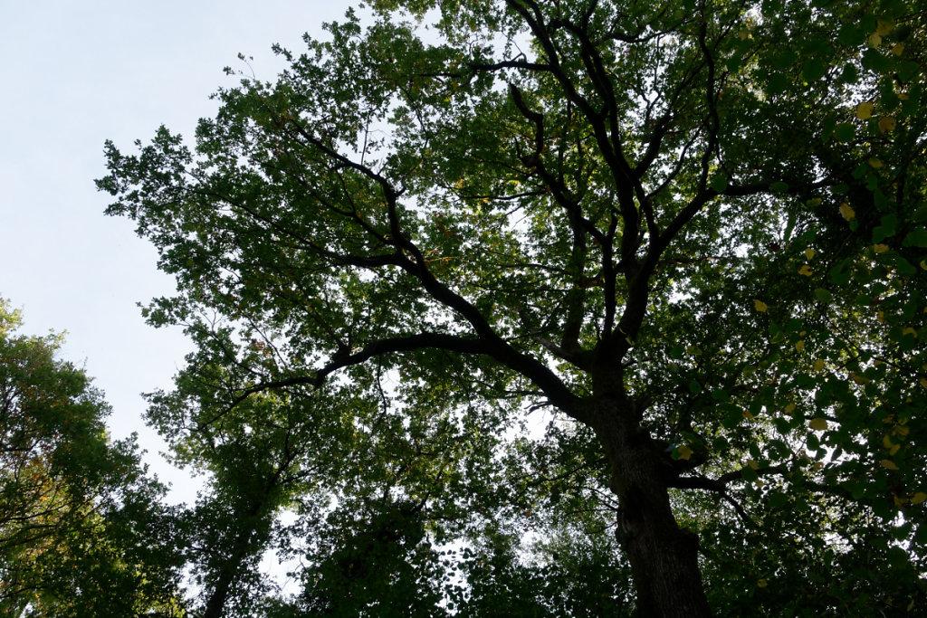 Un chêne séculaire