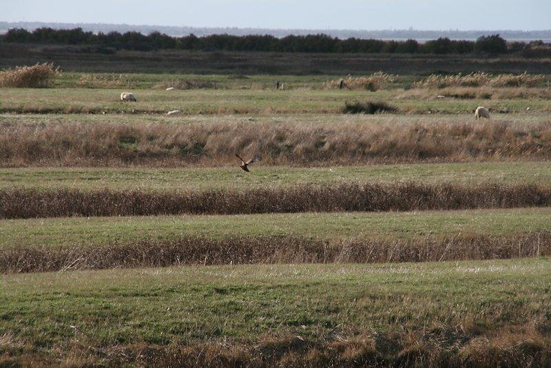 Busard des roseaux en quête de mulots