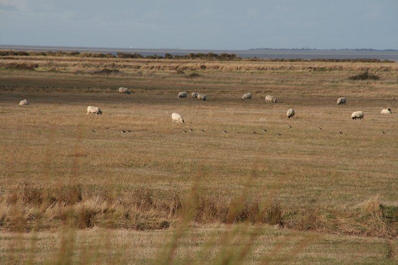 vanneaux et moutons font bon ménage