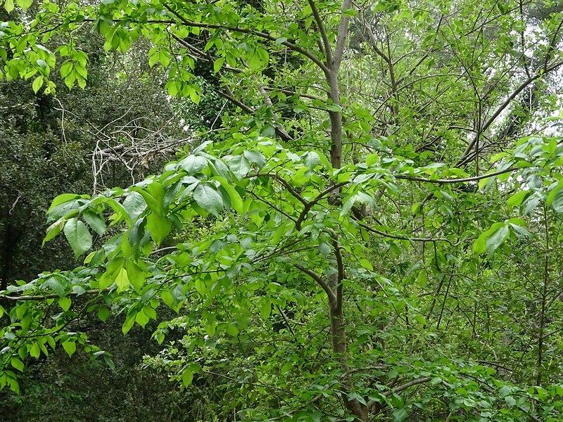 orme et ses feuilles caractéristiques