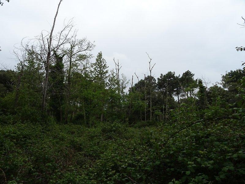 les pins souffrent du sel et des vents