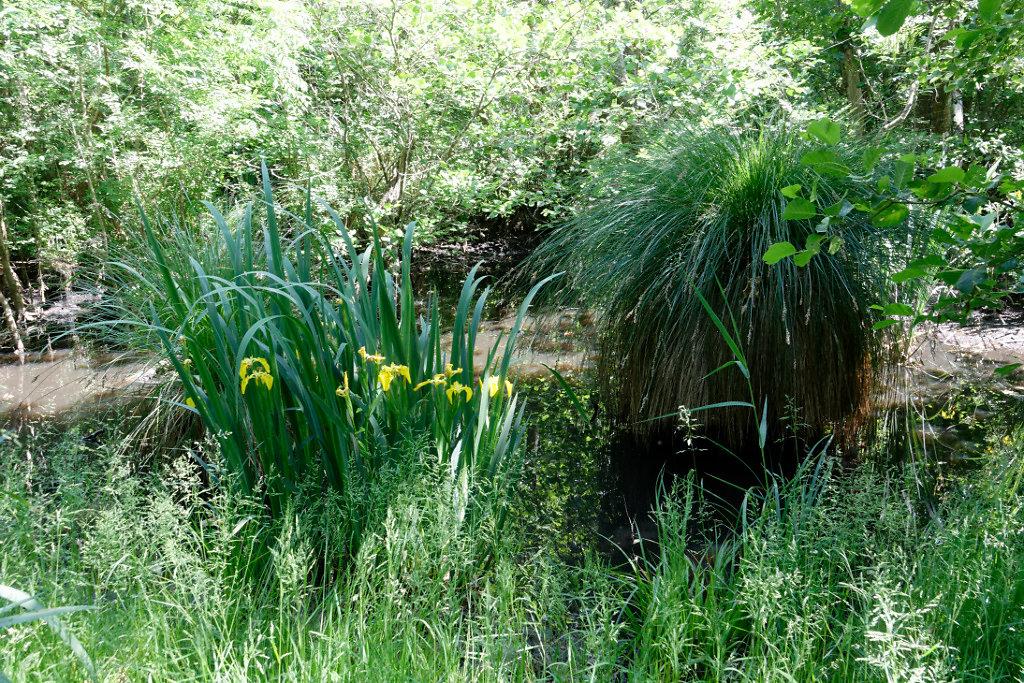 Iris et laîche