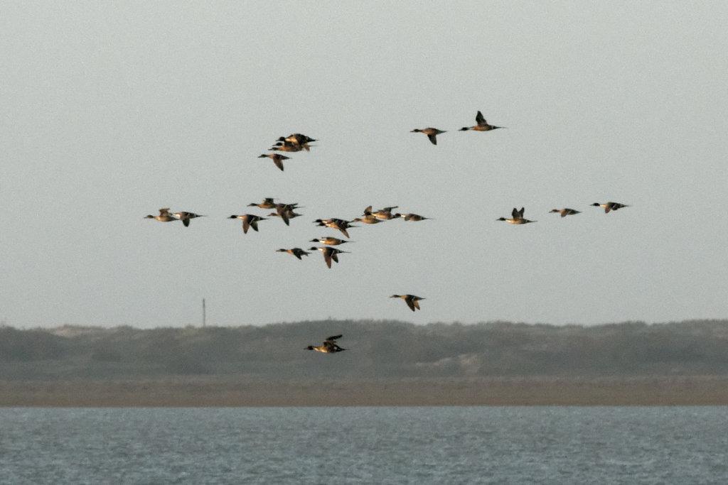 Vol de canards pillet