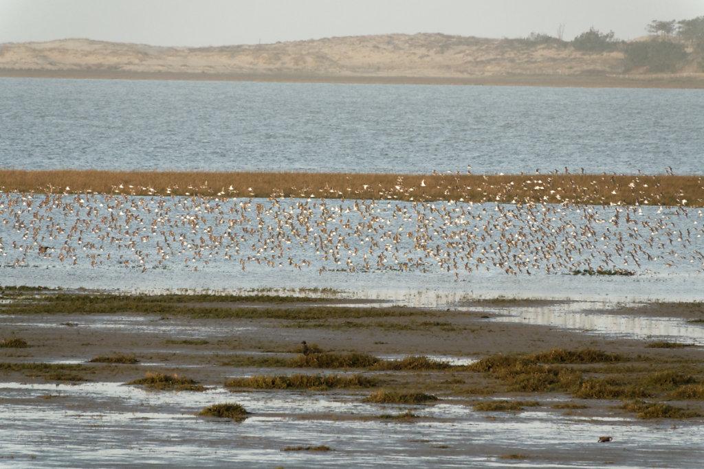 Envol des oiseaux vers d'autres reposoirs de l'autre côté de la baie
