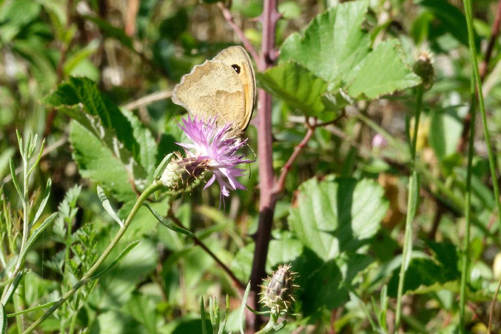 centaurée aspera et papillon amaryllis