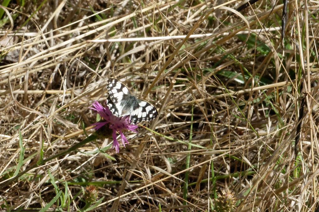 centaurée et papillon demi-deuil