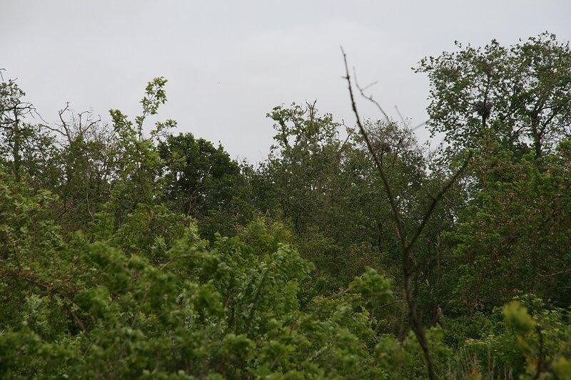 habituellement nombreux nids de hérons, d'aigrettes de spatules